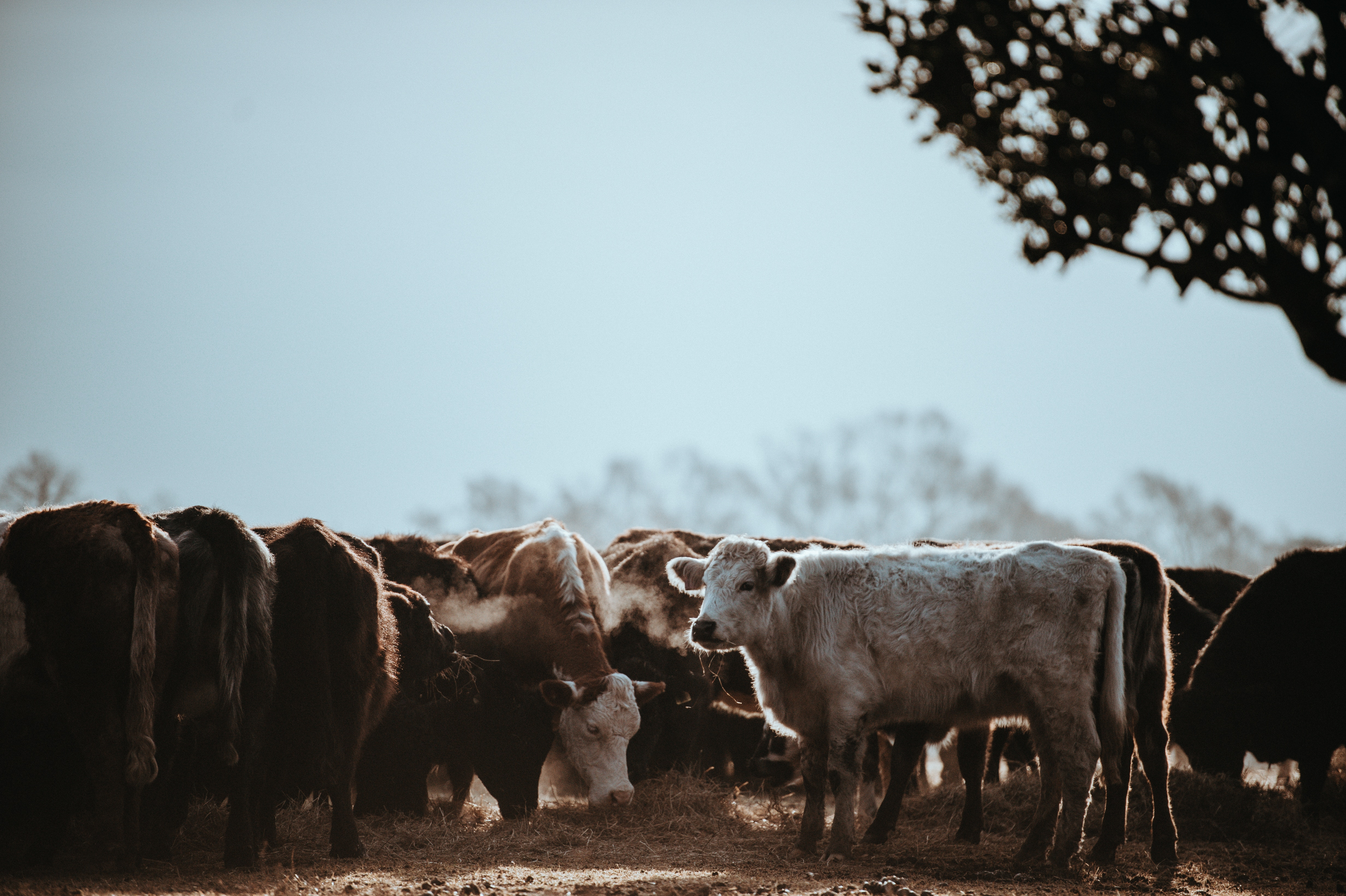 Grazing Cattle. Photo by Annie Sprat, via Unsplash (unsplash.com/photos/Q-VqoBCBurk)